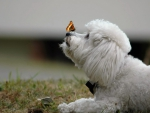 Butterfly and Bichon Frise