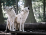Wolves Howling in the Forest