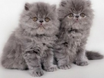 cute grey Persian kittens