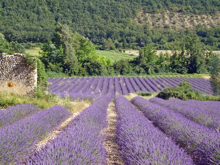 Lavender Field in Provence - hills, france, provence, flowers, farms, lavender, trees