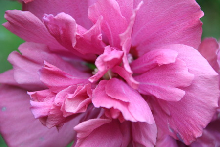 Double Rose of Sharon - rose of sharon, rose, bloom, pink
