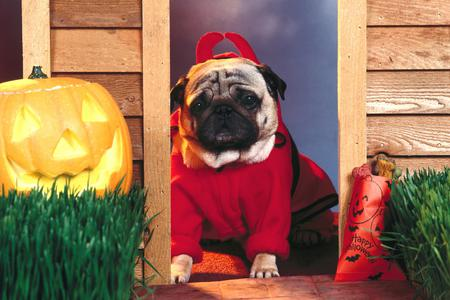 Devil Dog - costume, pumpkin, door, jack o lantern, devil, dog, horns
