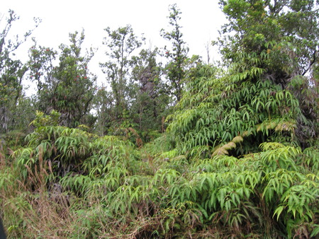 Rainforest Ferns - mountain view, fern, hawaii, jungle, rainforest, big island