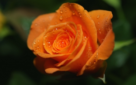 Rose - dew, flower, water, rose