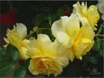 Yellow Roses F