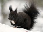 Furry squirrel