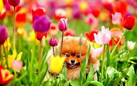PUPPY from the TULIPS FIELDS