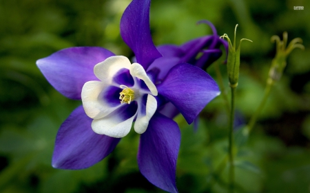 Purple Columbine - columbine, purple and white, purple, flowers, purple flowers, nature