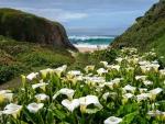 Lilies of the Beach-Big Sur, California