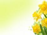 Daffodils by MaDonna