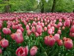 Tulips Parade
