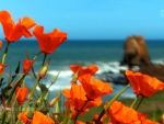 Wild Flowers, Big Sur, California