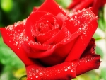 Rain-drenched Red Rose