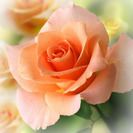 Peach colored rose flowers nature background - Peach rose wallpaper ...