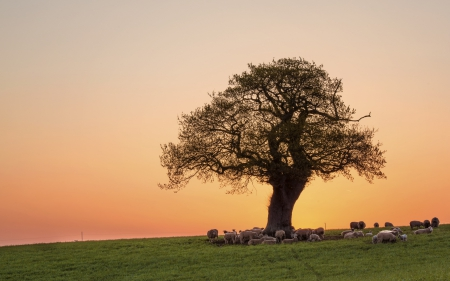 Under the tree - sheep, gainy, field, tree