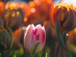Tulips World