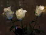 White Roses in the Rain