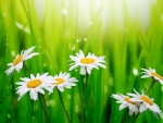 Daisies and Dew Drops in the Grass