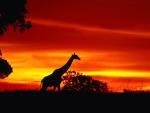 giraffe journey at dusk