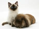 Ragdoll kitten and Lionhead rabbit