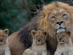 The family of lions