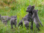 Mom Arctic Fox and her Cubs