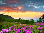 Rhododendrons Sunset