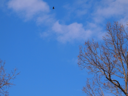 lone bird - Trees, Skys, Clouds, Birds
