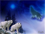 WOLVES BLUE NIGHT