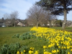Daffodils at Torre Abbey