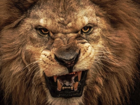 growling lion - male, mane, angry, strong