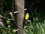 Goldfinches on Feeder f1