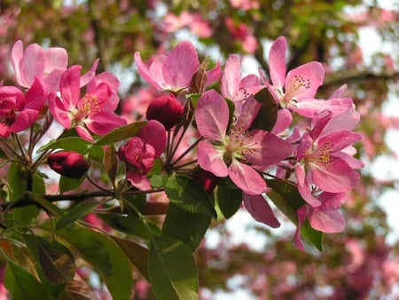 Crab Apple Tree - crab apple tree, spring, pink blossoms
