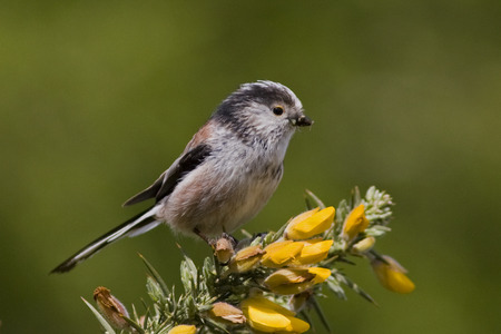 Long-tailed tit - wings, little, tail, long, spring, bird, long-tailed tit, beak, aegithalos caudatus, tit