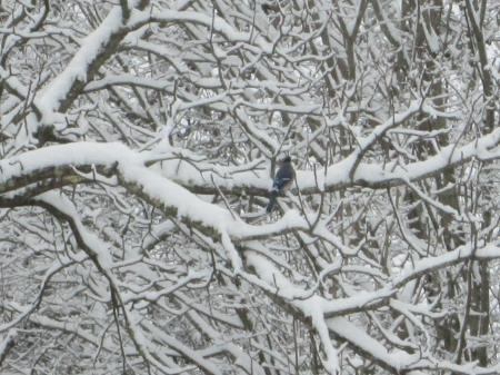 Lonely Blue Jay - jay, bird, snow, blue