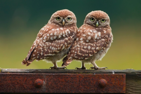 * Owls * - birds, owls, animals, animal