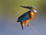 * Kingfisher *