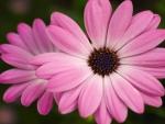 Fresh Pink Daisy