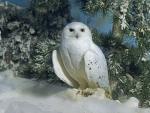 * Owl *