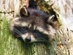 * Raccoon *