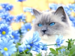 Blue-eyed Cat and Blue Flowers
