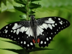 Black and White Butterfly f