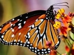 Monarch Butterfly F
