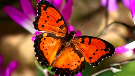 Bright Orange Butterfly F - photo, photography, butterfly, flower, wide screen, wildlife, animal, floral