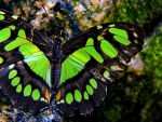 Green Butterfy f