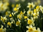 Yellow flowers - daffodils