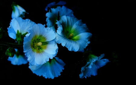 Beautiful Blue Flowers - blue flowers, blue on black, color on black, flowers, nature, blue