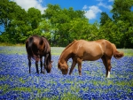 Horses grazing in Texas bluebonnets pasture