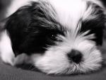 Puppy York Biver