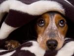 Dog - blanket